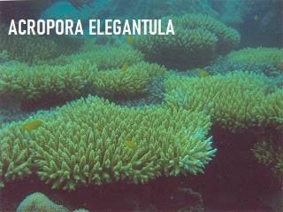 Acropora Elegantula