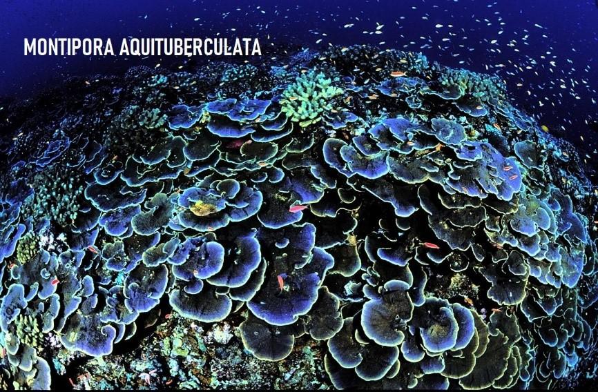 Montipora Aquituberculata